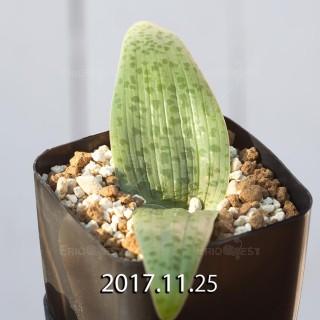 Lachenalia kliprandensis Seedling 7853
