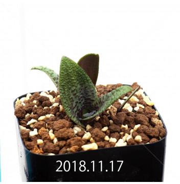 ラケナリア プスツラータ ISI2007-26 子株 10131