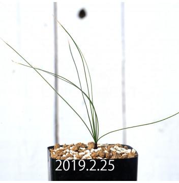 ドリミア ナナ 子株 10203