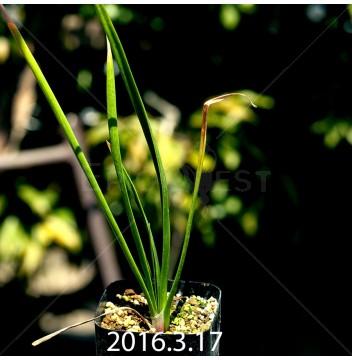 トラキアンドラ sp. 実生 1041