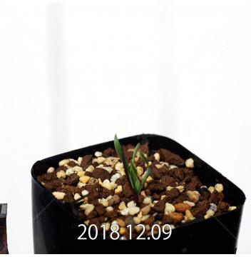 カマイスキラ スピラリス 子株 11301