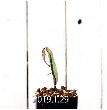 ラケナリア ムタビリス EQ467 実生 11421