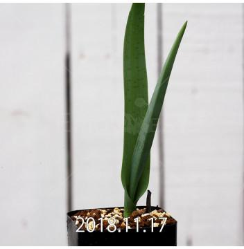 ラケナリア スタイネリ 子株 11716