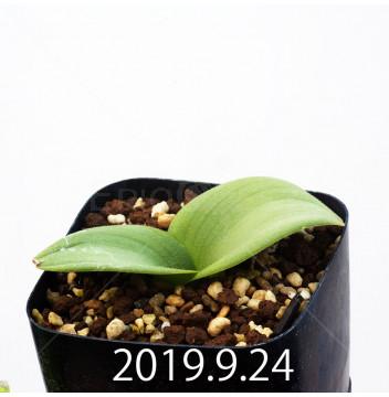 マッソニア ジャスミニフローラ IB11536/JIL085 実生 11969
