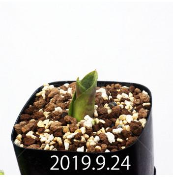 マッソニア ジャスミニフローラ IB11536/JIL085 実生 11972