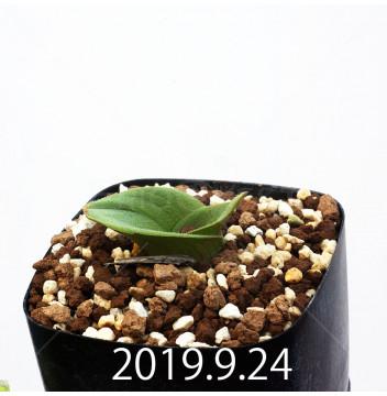 マッソニア ジャスミニフローラ IB11536/JIL085 実生 11974