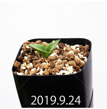マッソニア ジャスミニフローラ IB11536/JIL085 実生 11975