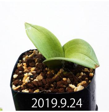マッソニア ジャスミニフローラ IB11536/JIL085 実生 11978