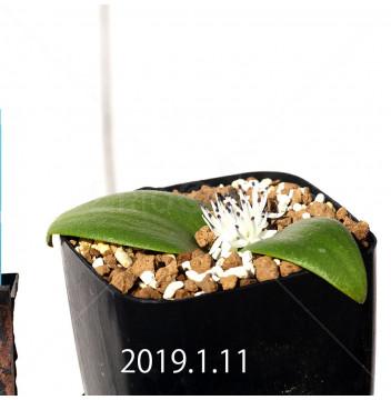 マッソニア ジャスミニフローラ IB11536/JIL085 実生 11980