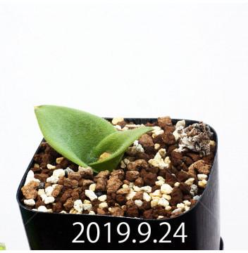 マッソニア ジャスミニフローラ IB11536/JIL085 実生 11981