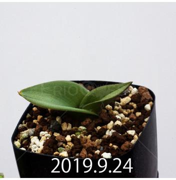 マッソニア ジャスミニフローラ IB11536/JIL085 実生 11983