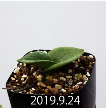 マッソニア ジャスミニフローラ IB11536/JIL085 実生 11990