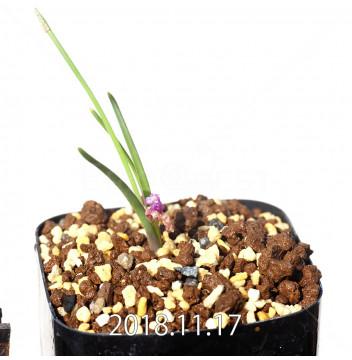 ラケナリア ポーキフォリア EQ660 実生 12103