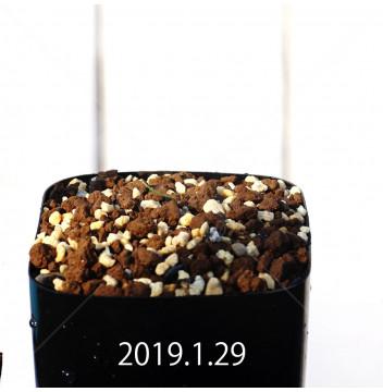 ゲチリス ラヌギノーサ GS3103 実生 12145