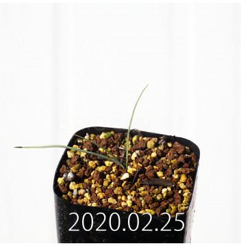 アンドロキンビウム キルキナツム キルキナツム亜種 実生 12218