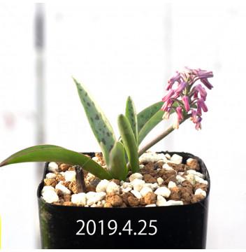 レデボウリア sp. aff. saundersonii 実生 13359