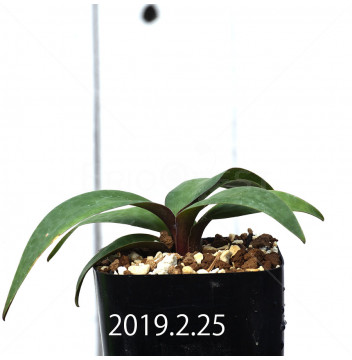 レデボウリア コリアセア DMC9654 子株 13444