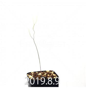 エリオスペルマム ポルフィロウァルウェ EQ732 実生 13467