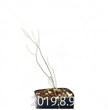 エリオスペルマム ポルフィロウァルウェ EQ732 実生 13474