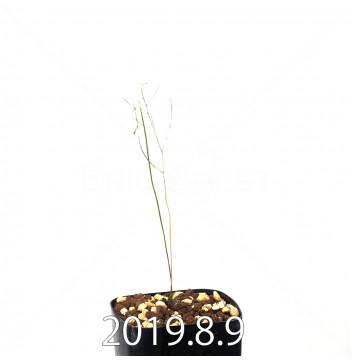 エリオスペルマム ポルフィロウァルウェ EQ732 実生 13482