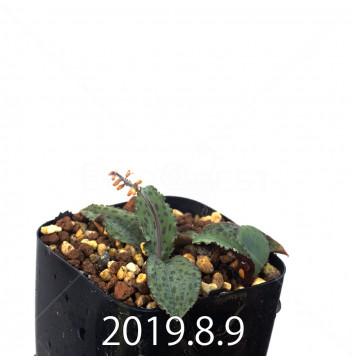 ドリミオプシス sp. EQ496 子株 13519