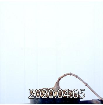 ペトペンチア ナタレンシス EQ767 実生 14770