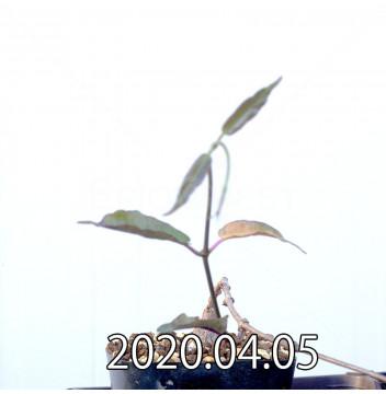 ペトペンチア ナタレンシス EQ767 実生 14774