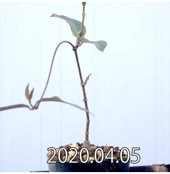 ペトペンチア ナタレンシス EQ767 実生 14775