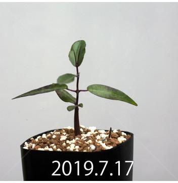 ペトペンチア ナタレンシス EQ767 実生 14778