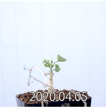 イベルビレア ソノレンシス EQ774 実生 14849
