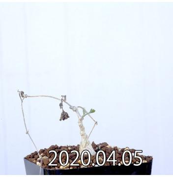 イベルビレア ソノレンシス EQ774 実生 14850