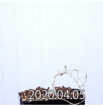 イベルビレア ソノレンシス EQ774 実生 14860