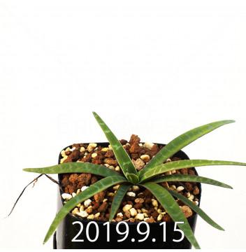レデボウリア レボルタ JAA1622 実生 14871