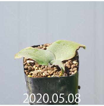 レデボウリア オヴァティフローラ スカブリダ変種 実生 14897
