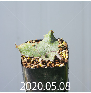 レデボウリア オヴァティフローラ スカブリダ変種 実生 14898