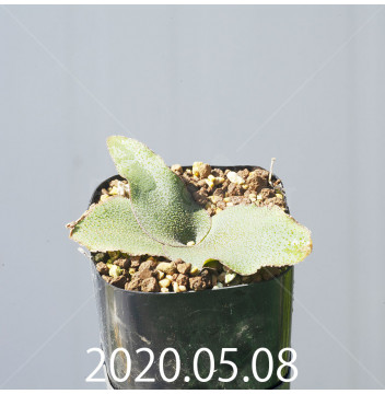 レデボウリア オヴァティフローラ スカブリダ変種 実生 14900