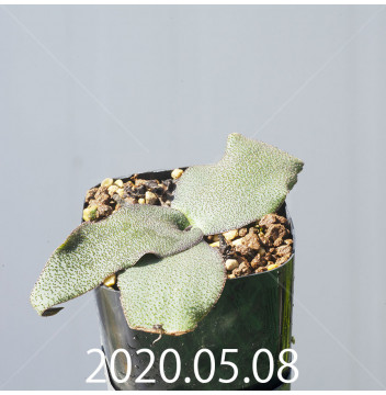 レデボウリア オヴァティフローラ スカブリダ変種 実生 14910