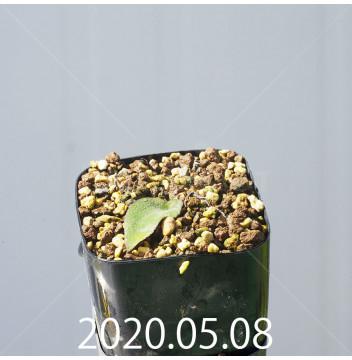 レデボウリア オヴァティフローラ スカブリダ変種 実生 14913