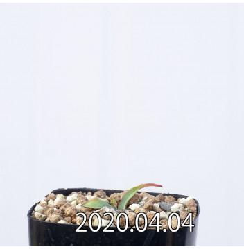レデボウリア マルギナータ EQ778 実生 14943