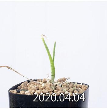 レデボウリア マルギナータ EQ778 実生 14954