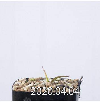 レデボウリア マルギナータ EQ778 実生 15000
