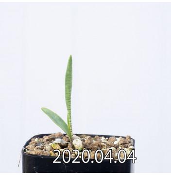 レデボウリア マルギナータ EQ778 実生 15008
