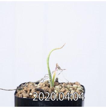レデボウリア マルギナータ EQ778 実生 15011