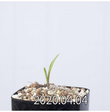 レデボウリア マルギナータ EQ778 実生 15014