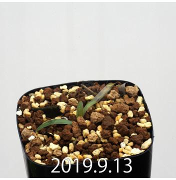 レデボウリア マルギナータ EQ778 実生 15021