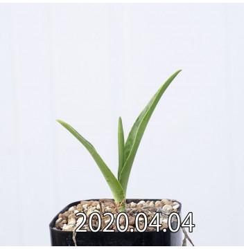 レデボウリア レボルタ EQ780 実生 15069