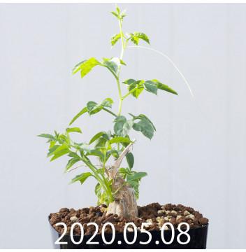 モモルディカ ロストラータ EQ783 実生 15097