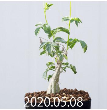 モモルディカ ロストラータ EQ783 実生 15101