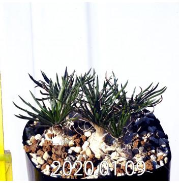 オーニソガラム sp. EQ615 子株 15351