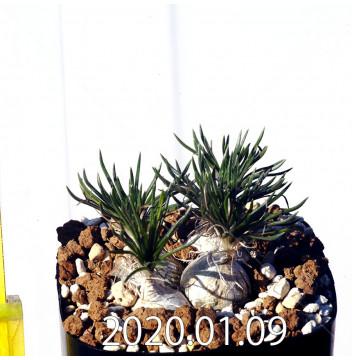 オーニソガラム sp. EQ615 子株 15353